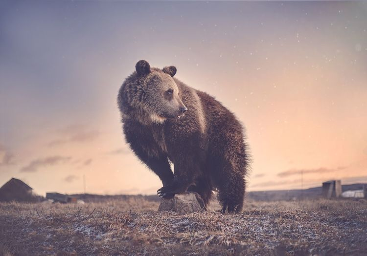 Brown bear in sunset
