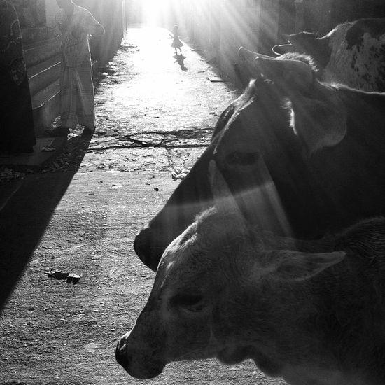 Street life ! 19.11.2014 Js Photographer Street Streetphotography People Children Cow Loght Shadow Bnw B &wBlackandwhite IPhone Insta Photojournalism Documentary Opensociety Reportagespotlight Featureshoot Burndiary Everydayeverywhere Chittagong Bangladesh Instagram Chottogram everydaybangladesh