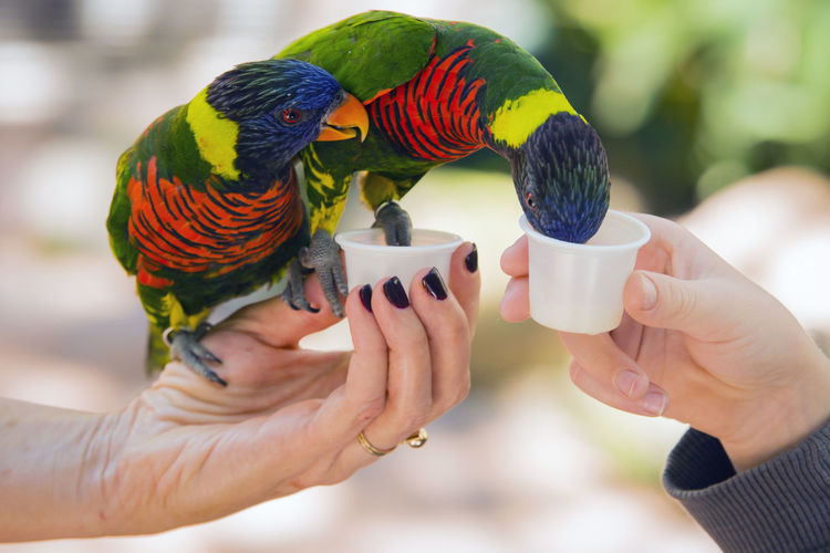 Two Rainbow Lory Parrots eating from peoples hands. Eating Green Color Animal Themes Beauty In Nature Bird Close-up Focus On Foreground Friendship Holding Human Hand Parrot Rainbow Lory Real People Yellow