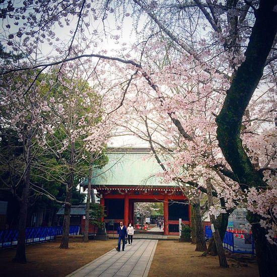 葛飾八幡宮 市川市 京成八幡 本八幡 桜 寺社仏閣 Relaxing Chiba