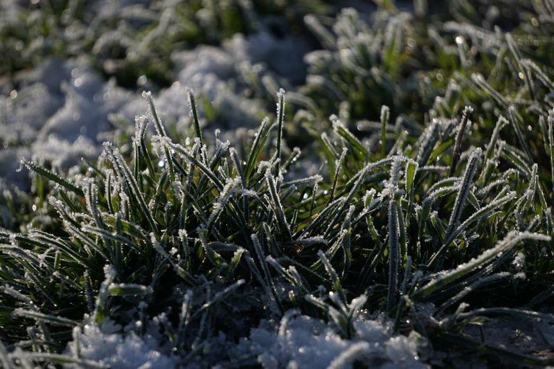 Plant Growth Winter Cold Temperature Beauty In Nature Snow Nature Green Color Day Field Outdoors Ice Frozen