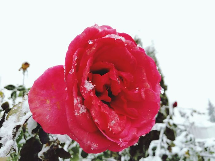 Snow Frozen Frozen Flowers Red Rose Winter Red Nature Beauty In Nature Growth Flower Close-up Plant