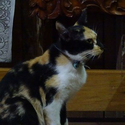 Loki is so serious of what?!? 😼😏 ICAN SonyGLens Sony Sonydscqx30 XPERIA FelineDomesticus Lokitheexplorer Wontspareyou AmericanBobtailCrossBreed Calico Perrysons