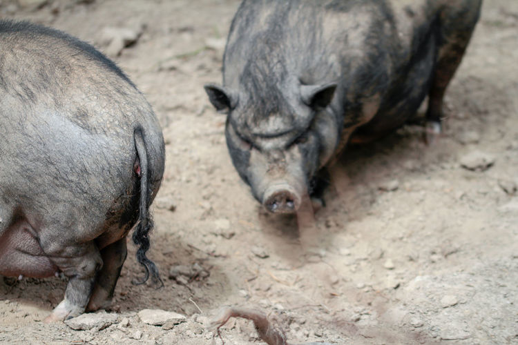 High angle view of pigs on field