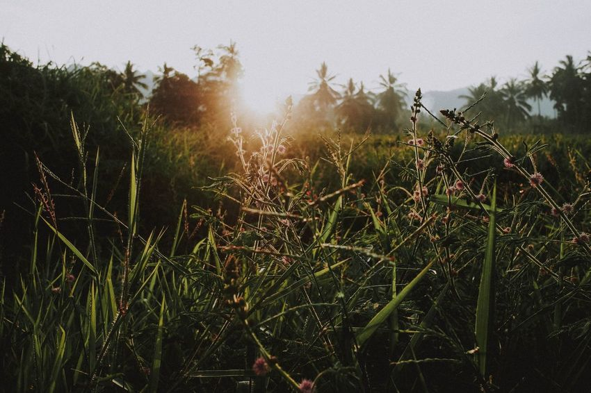 Lintau, 2018 Plant Growth Nature Sky Tranquility Beauty In Nature No People Day Sunlight Tree Outdoors Land Tranquil Scene Field Lens Flare Landscape Scenics - Nature Green Color Sunbeam Low Angle View