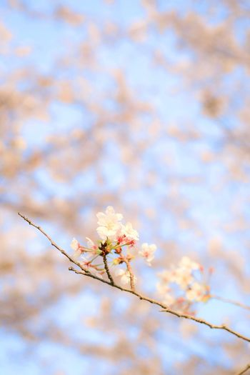 Plant Flower Flowering Plant Fragility Beauty In Nature Vulnerability  Tree Growth Nature Branch Low Angle View Freshness No People Blossom Springtime Day Sky Focus On Foreground Close-up Twig