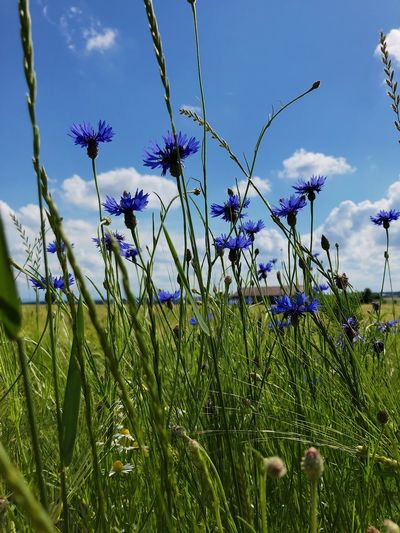 Cornflower Flowering Plant Beauty In Nature