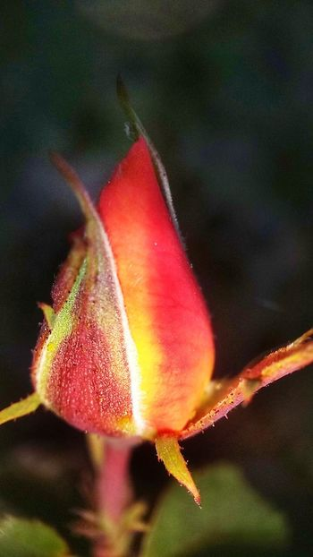 Flower Nature Freshness Fragility Growth Beauty In Nature Close-up Red Plant Petal No People Flower Head Day Leaf Outdoors New Life Macro Motog4
