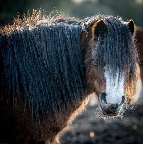 Pony head and