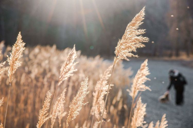 Cereal Plant Crop  Sunbeam Nature Sunlight Field Gold Colored Beauty In Nature Outdoors Plant Close-up Rural Scene Landscape Young Adult People Sunset One Person Animal Themes Dog One Animal Spring Delphinegidoinphotography