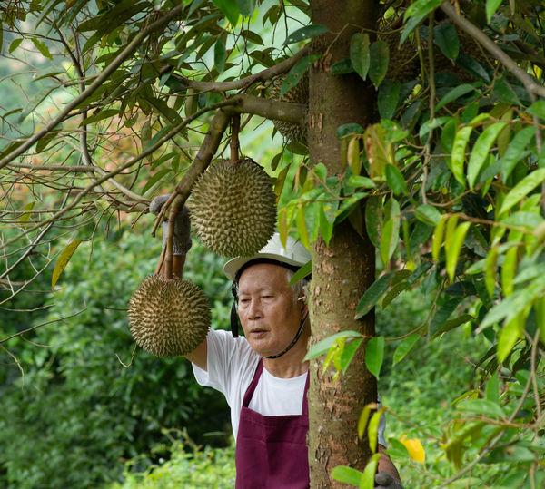 Man picking durian