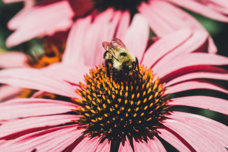 Close-up of bee on coneflower