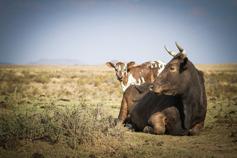 Cow and calf in the field Animals Herbivorous Grass No People Nature Landscape Land Field Mammal Animal Group Of Animals Animal Themes Two Animals Relaxation Animal Family Animals In The Wild