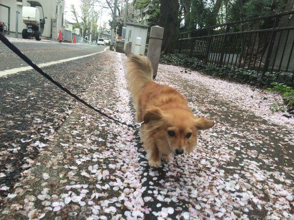 Mixdog Dog Chihuahua チワワ チワックス 犬