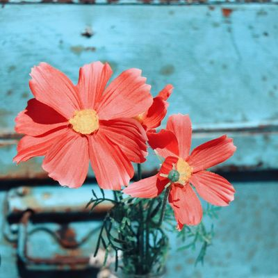 Rustic EyeEm Selects Flower Water Sea Red Close-up Sky Blooming Flower Head In Bloom Cosmos Flower Blossom