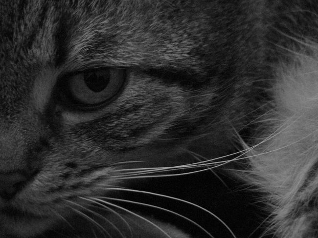 Cat Hunting  Eye Contact Animal Head  Animal Themes Blackandwhite Cat Close-up Dangerous Domestic Cat Eyes Feline Fur Indoors  Mammal One Animal Pet Pets Portrait Watching Whisker