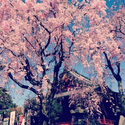Japan Sakura Beautiful