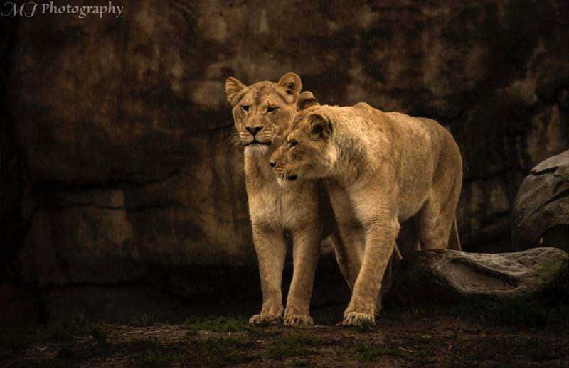 Mammal Lioness