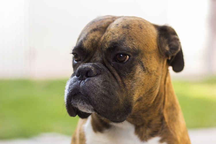 the serious dog Pet Pets Dogs Boxer Dog Serious Pets Dog Portrait Close-up Boxer - Dog Boxer Pretty Canine