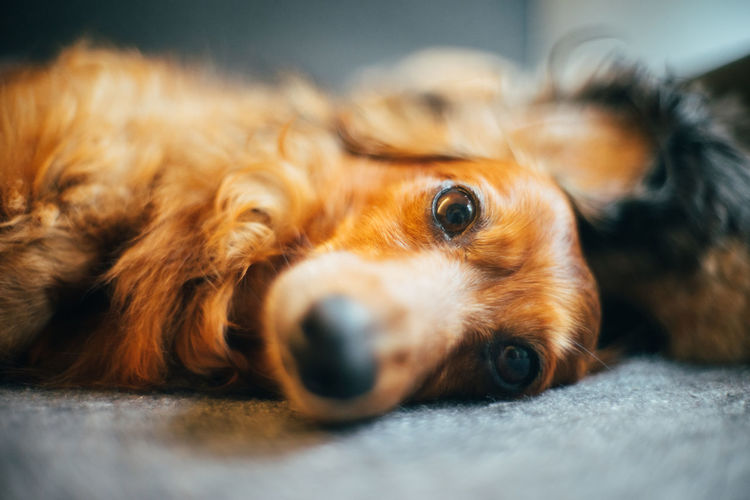One Animal Dog Canine Domestic Animal Themes Pets Animal Mammal Domestic Animals Selective Focus Vertebrate Relaxation Close-up Indoors  Resting No People Lying Down Brown Animal Body Part Portrait Animal Head  Snout Dachshund Pet Portraits Pet Photography  Cute Pets Cute Dog