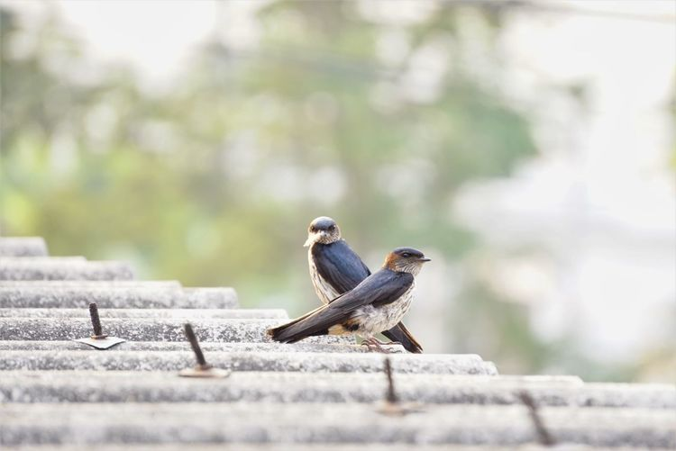 Red-rumped Swallow Two Pairs Of Spouses Prepare A Nest Construction To Get A Baby Animal Themes Animal Bird Animal Wildlife Vertebrate Animals In The Wild Perching Day One Animal No People Selective Focus Nature Outdoors Focus On Foreground Full Length Side View Wall Tree Concrete EyeEm Best Shots EyeEmNewHere EyeEm Nature Lover EyeEm Selects Sky Clear Sky Roof Rooftop