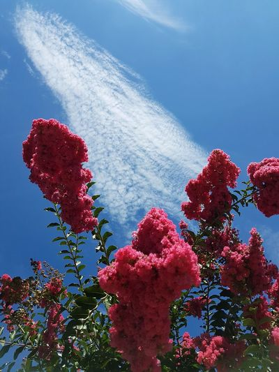 No People Red Low Angle View Sky Day Blue Tree Outdoors Nature Beauty In Nature Growth Flower Freshness Close-up Flowers And Sky Pink Flowers Fucsia Flowers Blu Sky With Cloud