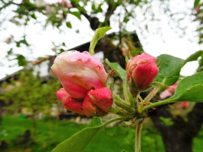 Apple Apple Blossom Beauty In Nature Blooming Close-up Day Flower Flower Head Focus On Foreground Fragility Freshness Green Color Growth Leaf Nature No People Outdoors Pink Color Plant Red Tree