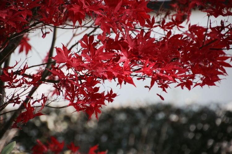 Close-up of red leaves on branch