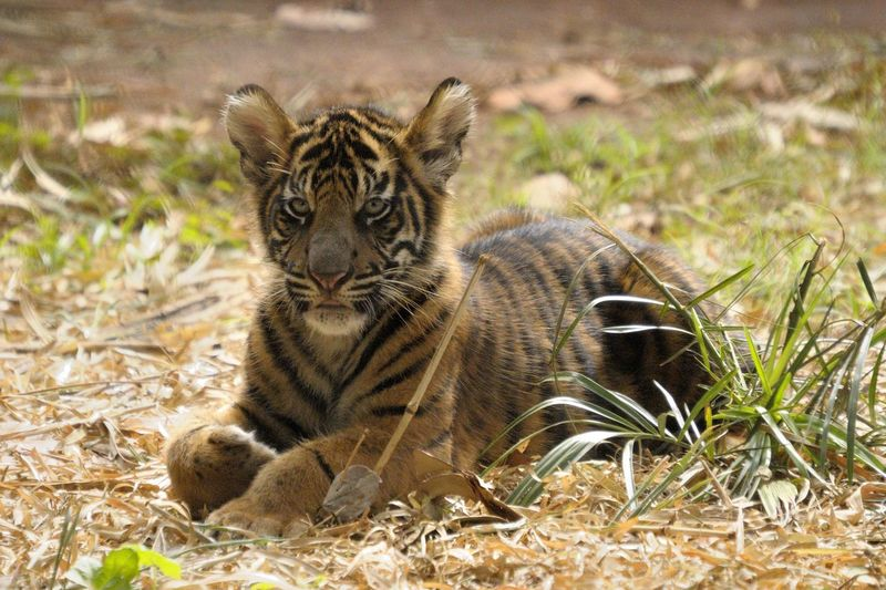 critter Animal Themes Animal Wildlife Animals In The Wild Close-up Day Field Grass Looking At Camera Mammal Nature No People One Animal Outdoors Plant Portrait Samatra Tiger