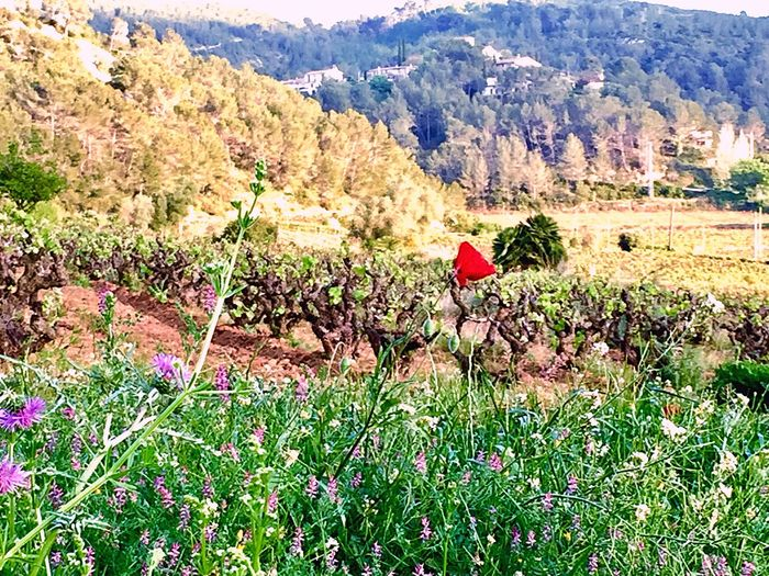 Catalonia Is Not Spain Catalonia Catalunyaexperience Catalunya Summertime Summer Vinãs Vinyes Penedes Paisaje Paisatges Catalans Naturaleza Natur Daylight Day Plant Beauty In Nature Growth Mountain Day Tranquility Nature Outdoors Sunlight Field Landscape