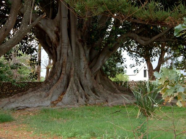 Wide Girth ~ Beauty In Nature Big Tree Day Growth Landscape Nature No People Old Tree Outdoors Shady Trees Tree Tree Trunk