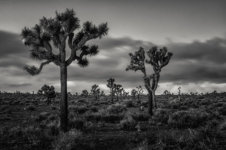 Joshua tree black and white Plant Sky Tree Land Tranquility Tranquil Scene Scenics - Nature Landscape No People Nature Outdoors Horizon Over Land Joshua Tree National Park Joshua Tree Black And White Scenics USA California Clouds Bnw Morning Desert Park National Park Dry Cactus Mojave Desert