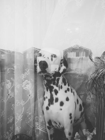 Stay at home with me dad and play fetch. 😘 Canon Vscobest Vscocamphotos Windsor Berkshire Dalmatian Dog EyeEm Best Edits Eyemdog Eyemphotography Vscogood This Week On Eyeem VSCO Vscogram Eyebestedits EyeEm Best Shots EyeEm Team Eyeemdoglover EyeEmBestPics Day Snowflakethedalmatian Looking At Camera Pets Dogs Capture The Moment Dog Doglover