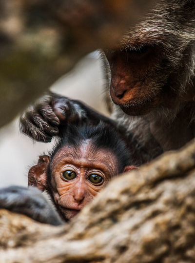 Monkeys, mothers with children, animals, innocence, commitment, caring, ties