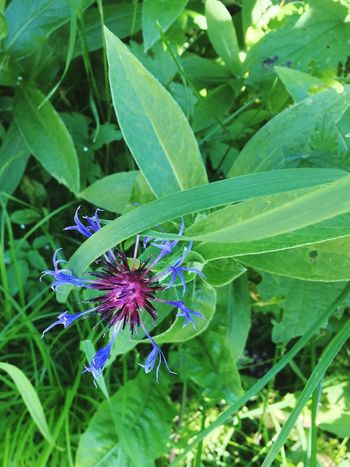 Centaurea Montana Wild Cornflower Alpenflora Alpenblumen Flowers Wildflowers Blue Nature Alpine Flowers And Herbs No People Close-up Swiss Alpine Wild Flower Swiss Alps