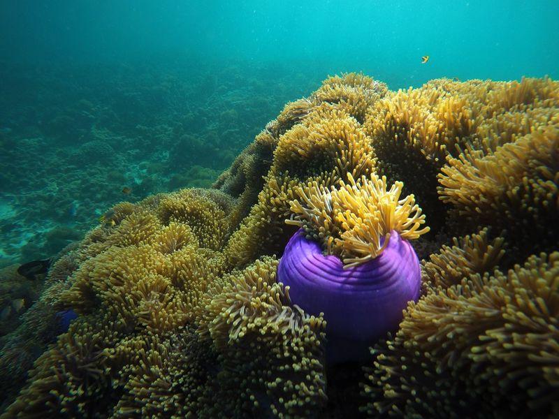 Anemone flower at Nyaung Oo Phee island, Myanmar. UnderSea Underwater Coral Sea Life Snorkling Anemone Flower Myanmar Nyaung Oo Phee Island