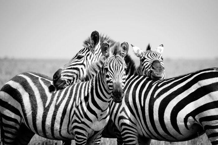 Zebras in the Serengeti Africa Tanzania Zebra Wildlife Animals Safari Travel Travel Photography The Week On EyeEm