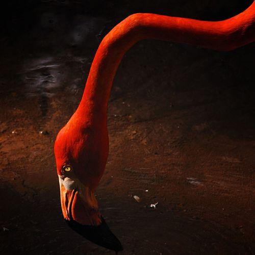 Flamingo drinking water from lake at zoo