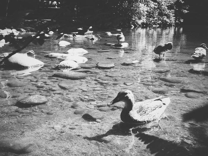 Pond Park Duck Nort Vancouver nature