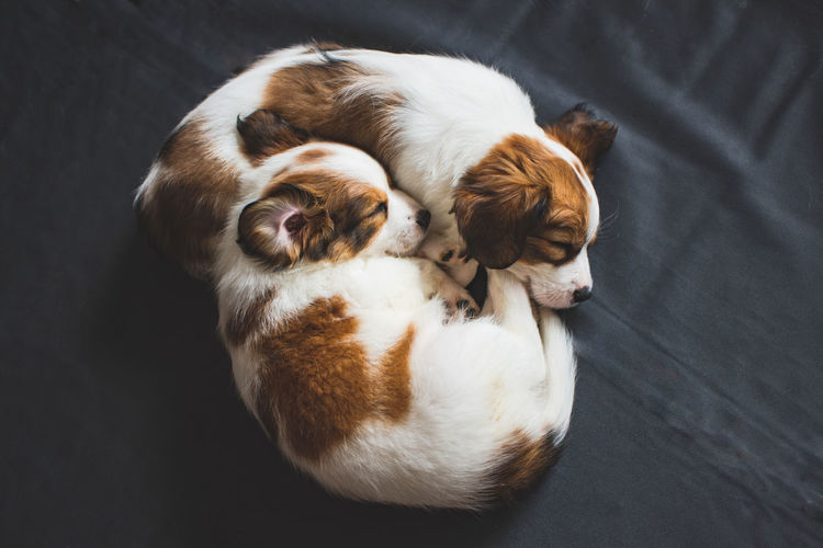 High Angle View Of Puppies Sleeping On Bed