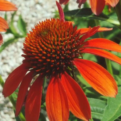 What a Beauty.... Flower Head Flower Coneflower Petal Springtime Close-up Blooming Plant