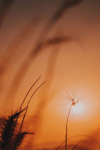 Low angle view of dandelion against orange sky