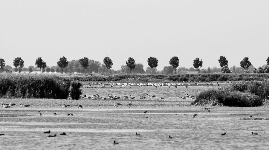Spoonbills Geese Dutch Landscape Monochrome Blackandwhite