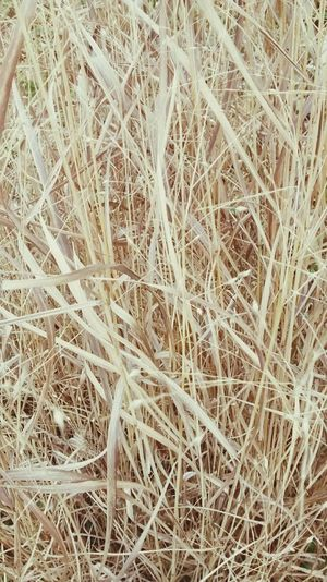 Dried up Dried Grass Relaxing Grass Blades