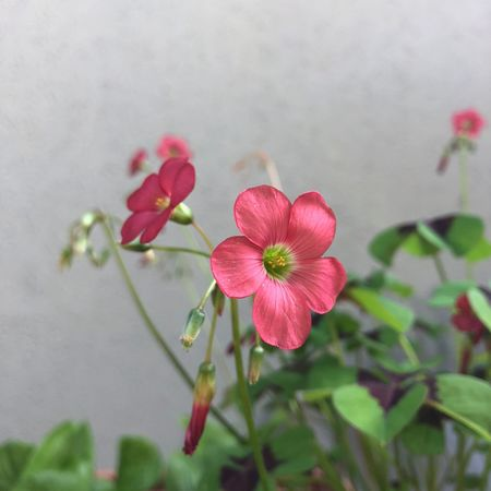 Clover Flower Flowering Plant