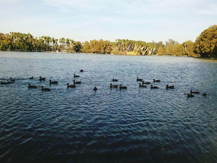Relaxing Enjoying Life Ducks At The Lake Fresh Air