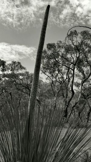"""'Xanthorrhoea' more commonly known as """"The Kangaroo Tail Plant"""" After a fierce forest fire, these plants, native to Australia, sprout this dramatic long green, reed-like trunk. This was in the Australian Grampians. (A wonderful Mountain Range of exceptional Beauty). A few months before I shot this, there had been extensive forest fires covering countless thousands of acres, and these plants were springing up everywhere. They are a protected species, but that doesn't stop some folk risking huge fines by digging them up and selling them for hundreds of dollars. Bnw_friday_eyeemchallenge Outside Life Outdoors Enjoying Life Exploring On A Hike Mountains Check This Out Taking Photos Malephotographerofthemonth Eye4photography  Plants Eyeem Plants EyeEm Nature Lover."""