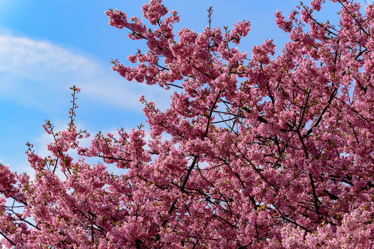 Pink Color Plant Growth Flower Tree Flowering Plant Low Angle View Springtime Blossom Beauty In Nature Branch Sky Freshness Fragility Cherry Blossom Nature Vulnerability  Day Cherry Tree No People Outdoors Plum Blossom Flower Head Spring Kawazu-zakura