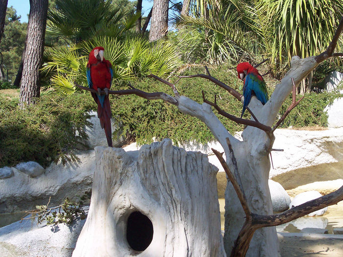 Real Two aras chloropterus ( green winds ) - 95 cm - 37 inch !!! Papagei / Lovely parrots // PROTECT him as you can Papagaio Parrot❤ Psittacidae Red Macaw Red-and-green Macaw Ara Arara Chloroptera Green-winged Macaw Loro Macaw Macaw Parrot Macaws Nest Nist Birds Nest No People Outdoors Papagei Parrot Parrot Lover Ara Chloroptera 鹦鹉 Multicolor @Ced_u26CC_BY_ND take time by looking all my photographies near 600x -- here ;-) -- on EyeEm DOT com