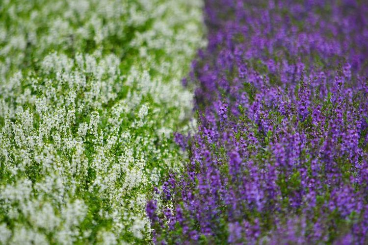 Close-up of purple lavender flowers on field